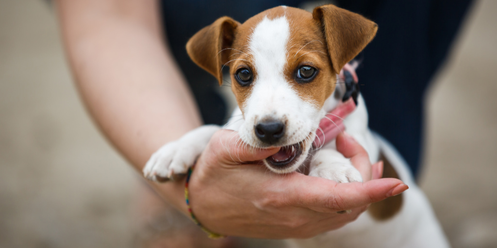 Knowing how to train your dog not to mouth you when he is playing too rough is vital. These tips teach you how to stop puppy biting quickly and effectively.