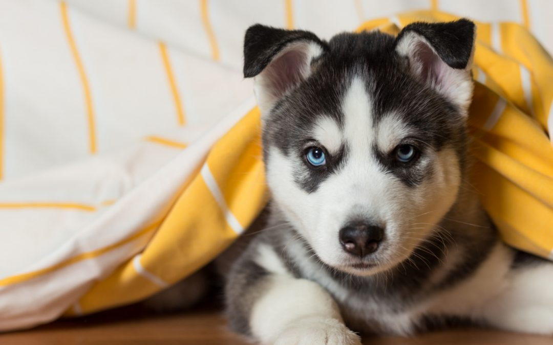 Here is Everything You Need for A Husky Puppy