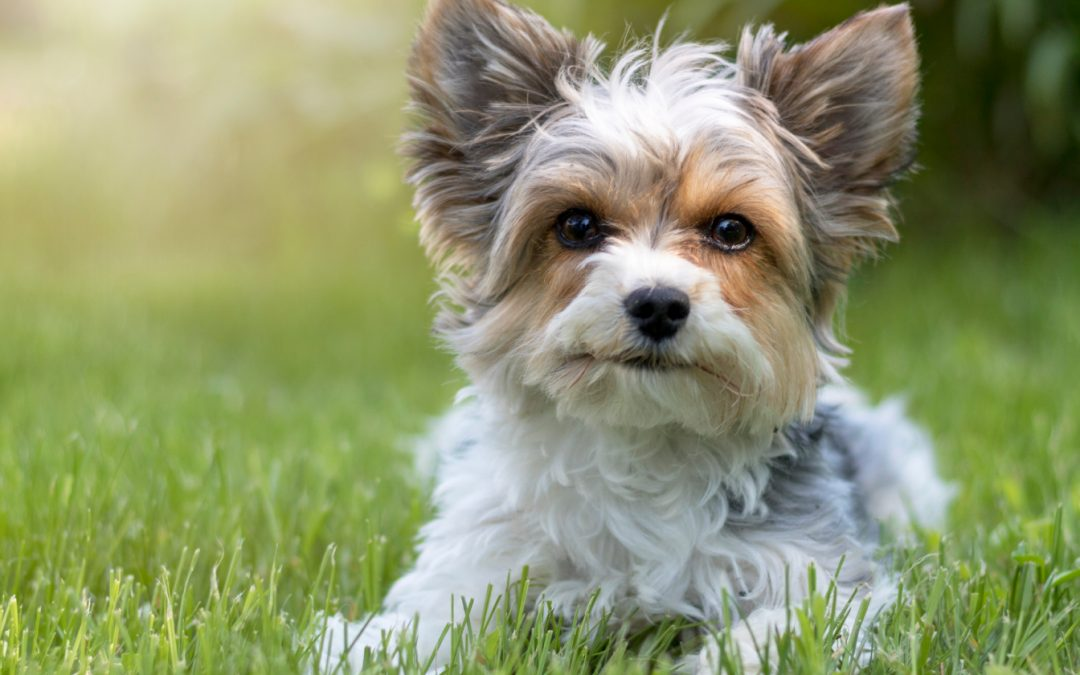 7 Tips on Dealing with Yorkie Potty Training Regression