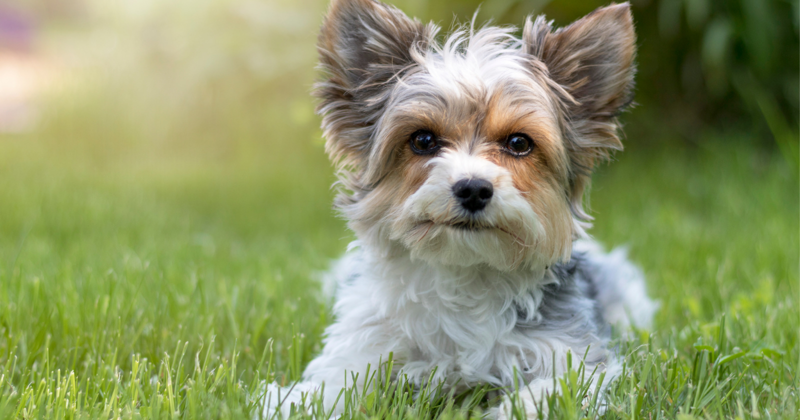 7 Tips On Dealing With Yorkie Potty Training Regression Alpha Trained Dog