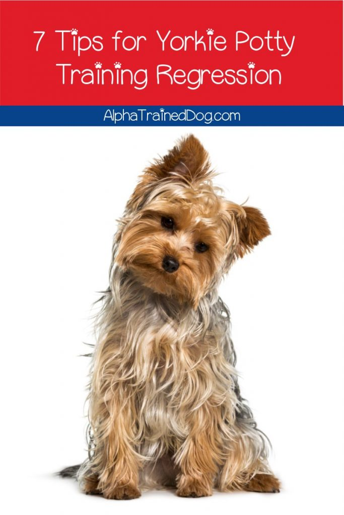 Are you wondering what to do about your Yorkie potty training regression? Read on for 7 tips and tricks to get your pup back on track!