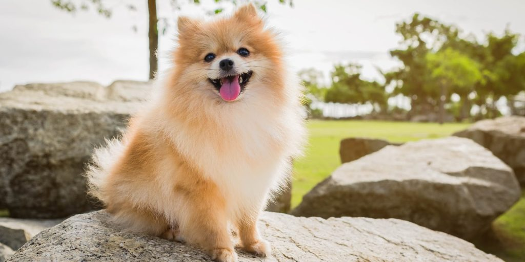 If you're searching for the absolute best dog crates for Pomeranians, let me give you a hand! Check out our top 5 favorites!