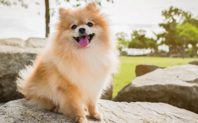 Top 5 Best Dog Crates for Pomeranians (with Reviews)