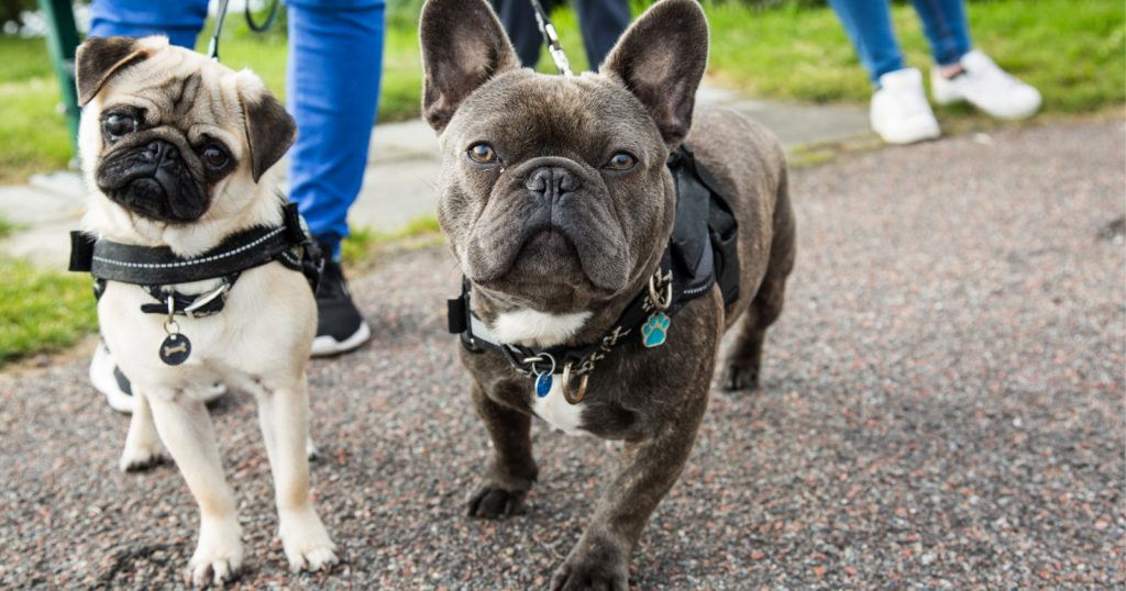 Need to know how to train a French Bulldog? Just because they're a bit stubborn doesn't mean it isn't possible! Check out our tips to make it easier!