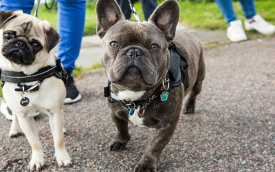 9 Superb Tips on How to Train a French Bulldog Puppy