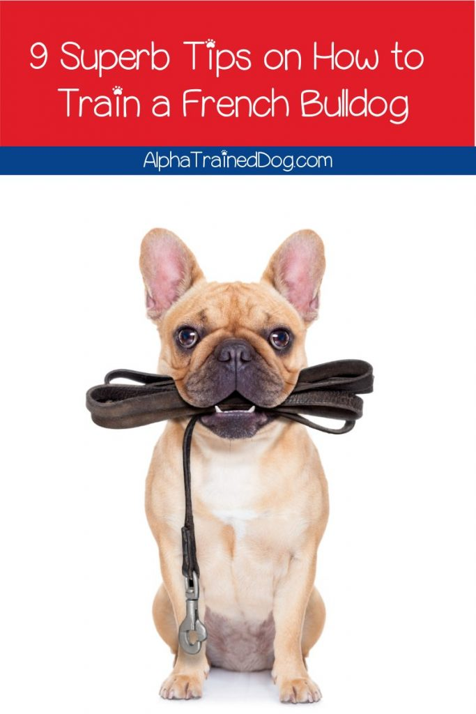 9 Superb Tips On How To Train A French Bulldog Puppy Alpha Trained Dog