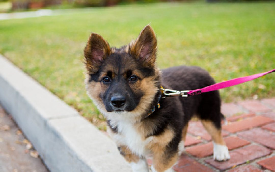 The Ultimate 8-Step Guide to Leash Training a German Shepherd Puppy