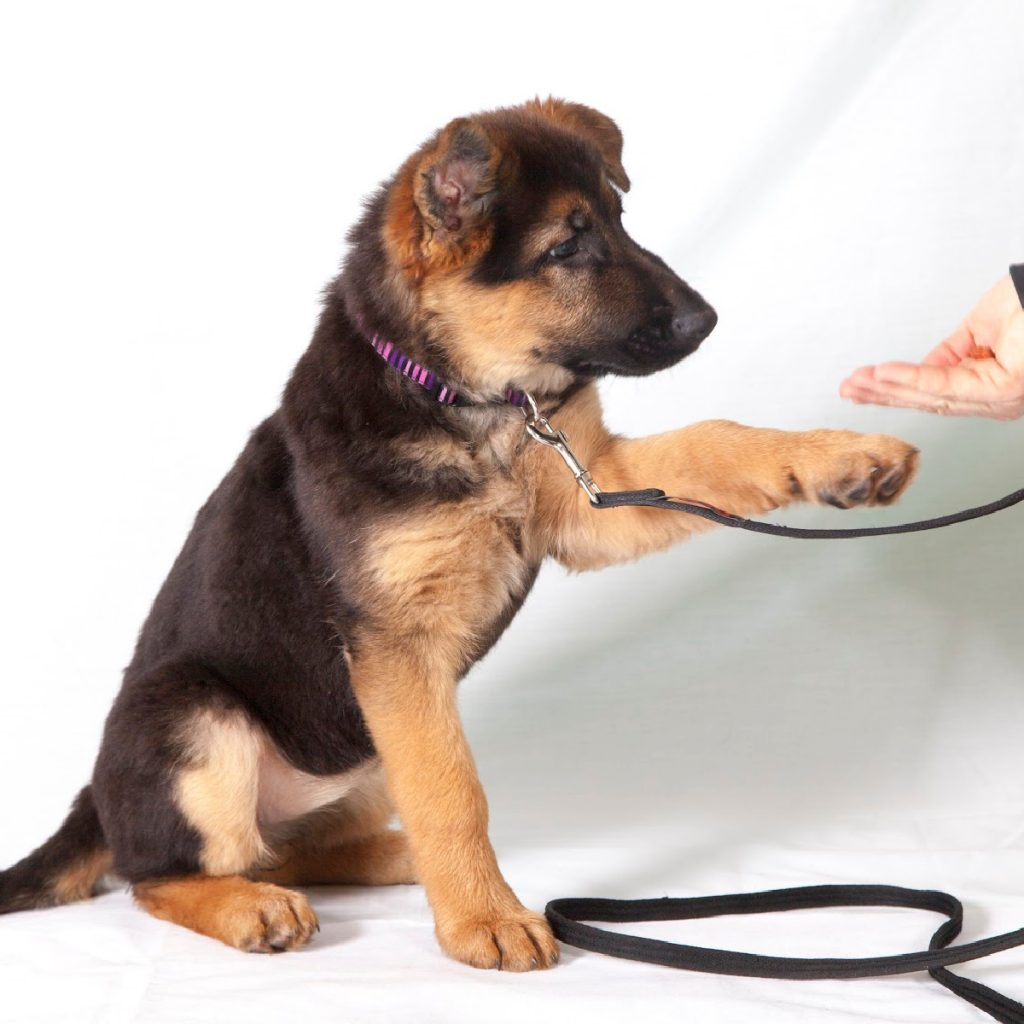 Having trouble leash training your German Shepherd puppy? Our easy 8-step guide will have your pup walking nice on a leash in no time!