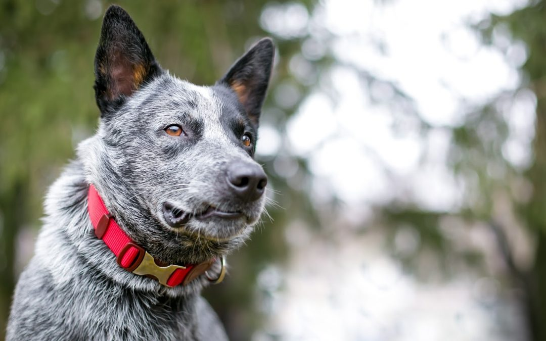 What is the Best Collar for Blue Heeler Dogs? (Complete Guide with Our Top 5 Picks)