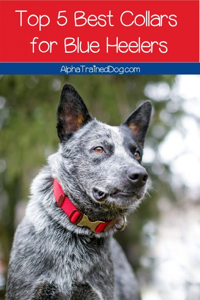 Looking for the best collar for Blue Heeler dogs? We've got you covered! Check out buying tips + our top 5 picks!
