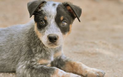 How to Socialize a Blue Heeler Puppy: Complete Guide With Proven Tips