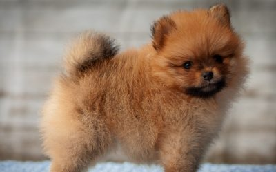 How to Train A Pomeranian Puppy Not To Bark: 6 Tried & True Methods