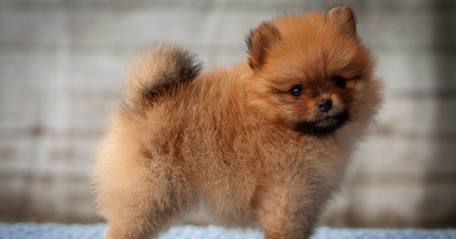 How To Train A Pomeranian Puppy Not To Bark 6 Tried True Methods Alpha Trained Dog