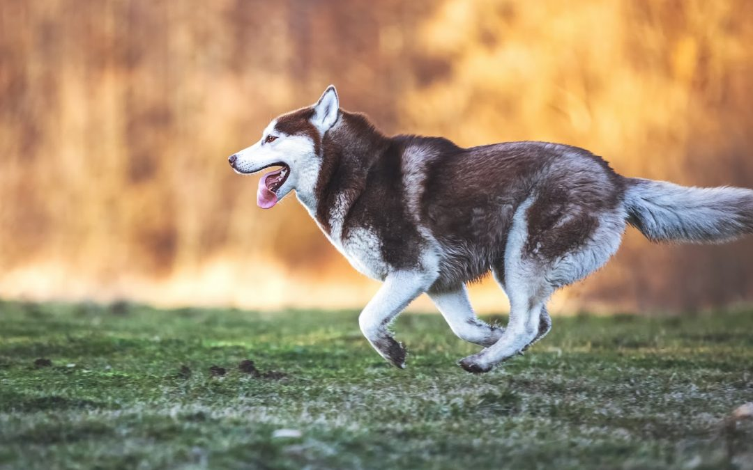 How to Train a Husky Not to Run Away (Definitive Guide)