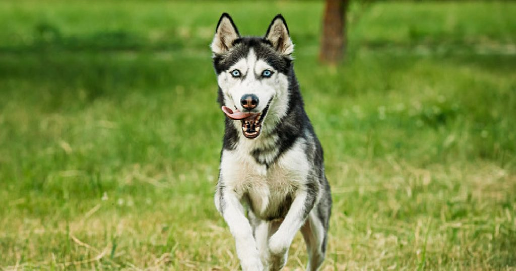 Want to know how to train a husky not to run away? Wondering why they're so prone to escaping in the first place? Read on for the answers!