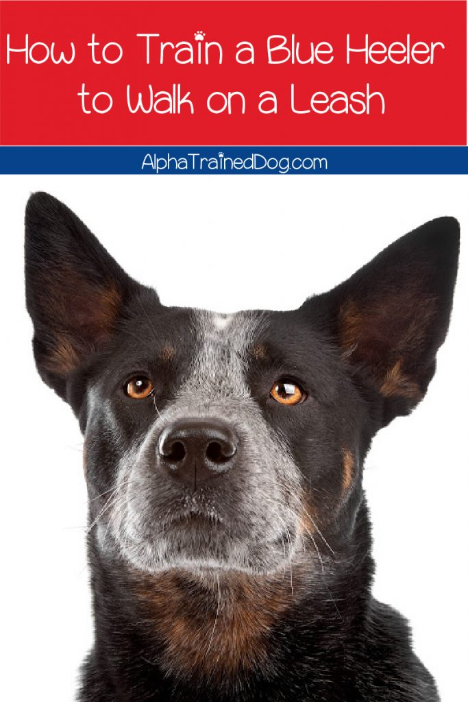 If you know how to train a Blue Heeler to walk on a leash, it'll make life much easier. Learn how to do it in just a few steps.
