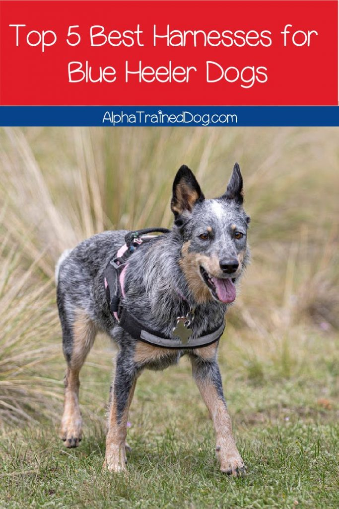 What should you look for in the best Blue Heeler harness? Check out our buying guide, along with 5 that we recommend!