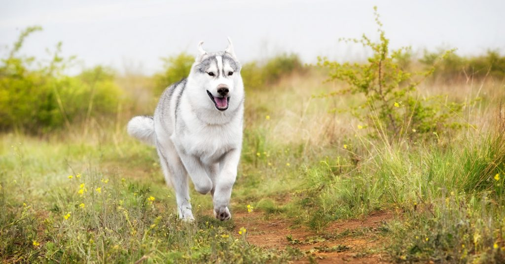 Can you train a husky to be off leash and actually trust that he won't run away? Read on to find out the answer!