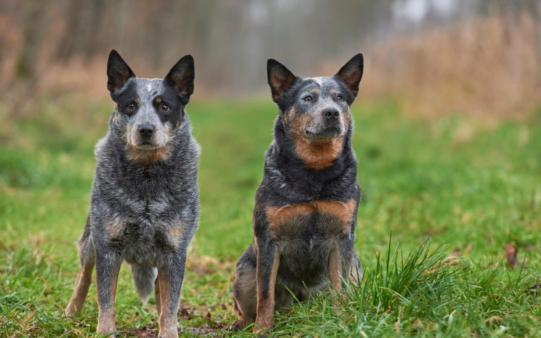 3 Proven Methods For House Training A Blue Heeler Puppy