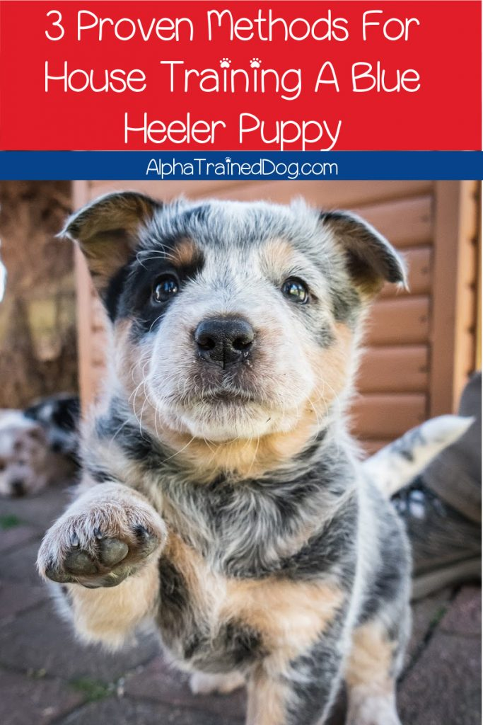 Is house training your Blue Heeler puppy harder than you expected, and you keep finding wet puddles around the house? Check out our tips!