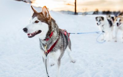 How to Train a Husky to Run with You