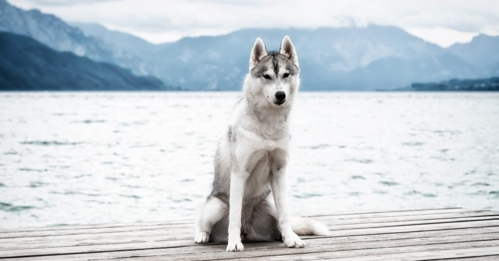 How to train a Husky to sit? It's a lot easier than you think! We'll teach you how to do it with three different methods.
