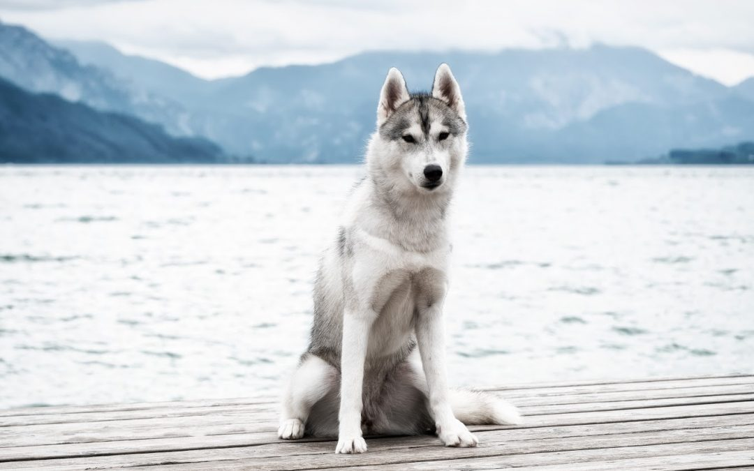 How to Train a Husky to Sit (With 3 Easy Methods)
