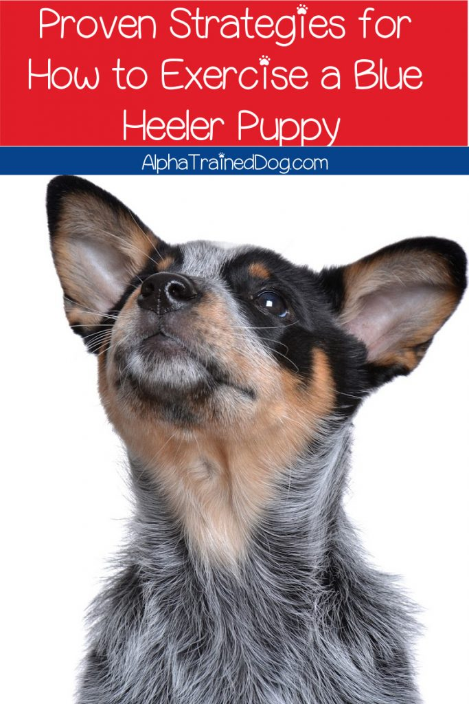 Looking for tips on how to exercise a Blue Heeler puppy? Read on for proven strategies that will help tire your active pup out fast!
