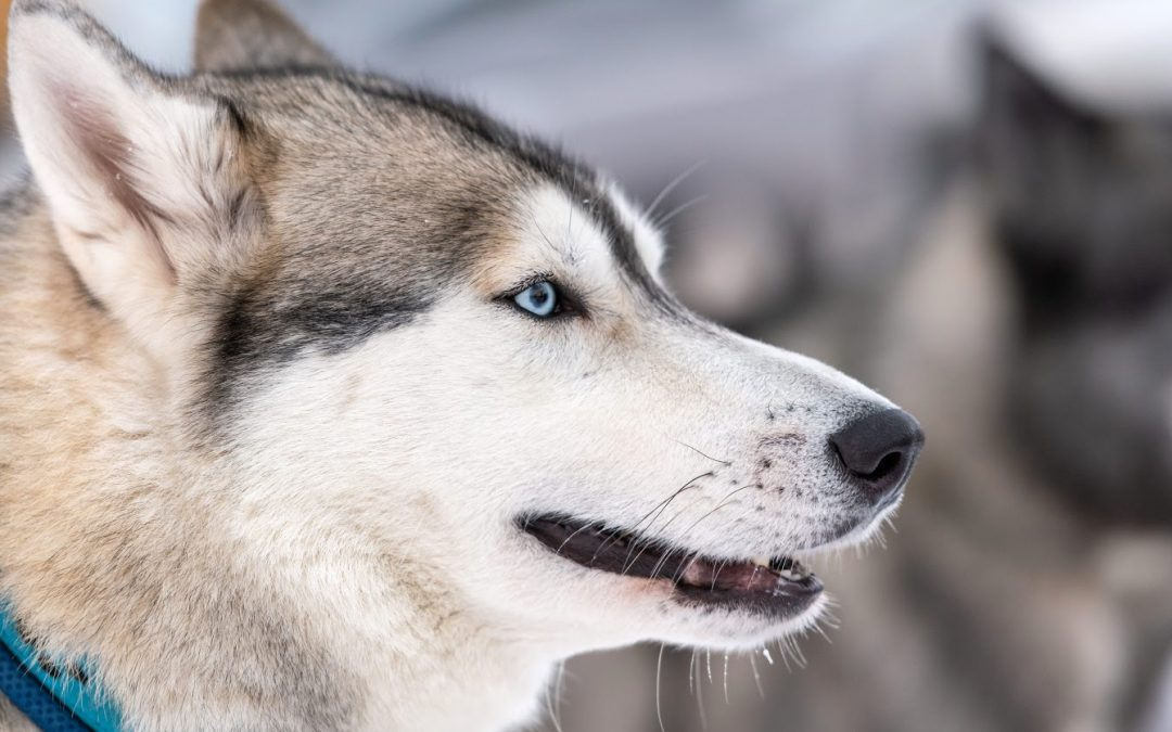 How to Train a Husky to Come: Two Proven Methods to Try