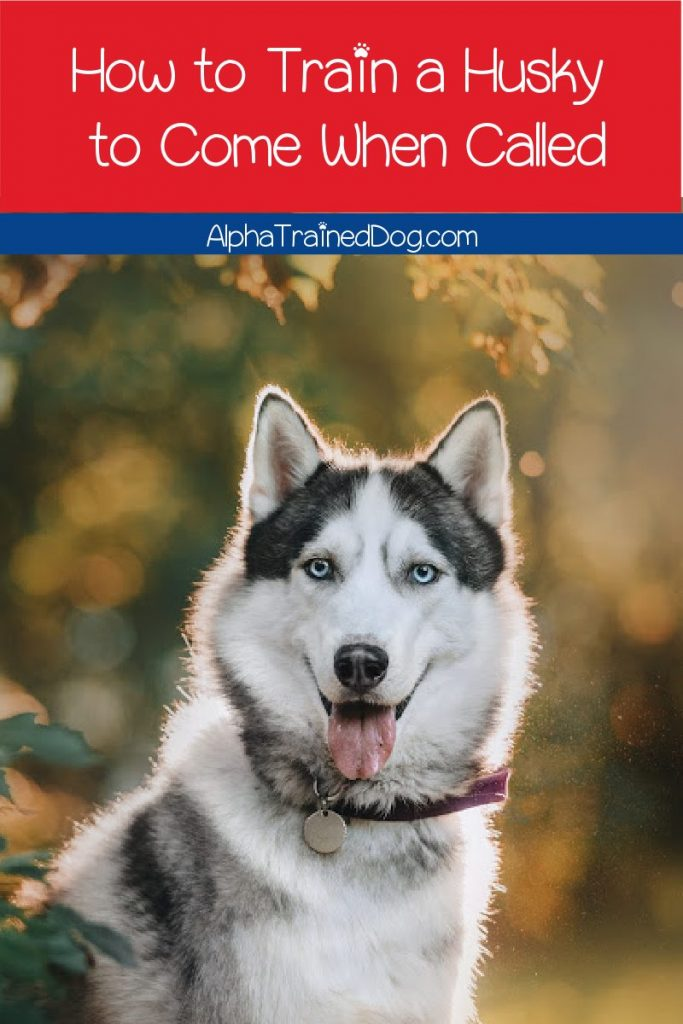 Knowing how to train a Husky to come helps keep him safe in a variety of situations. Train a Husky to come with these easy methods.