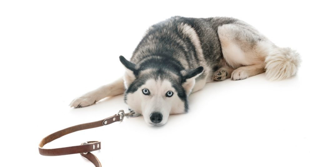 Knowing how to train a Husky to walk on a leash makes daily life easier. These tips will help your pup walk nicely & your adult stop pulling!