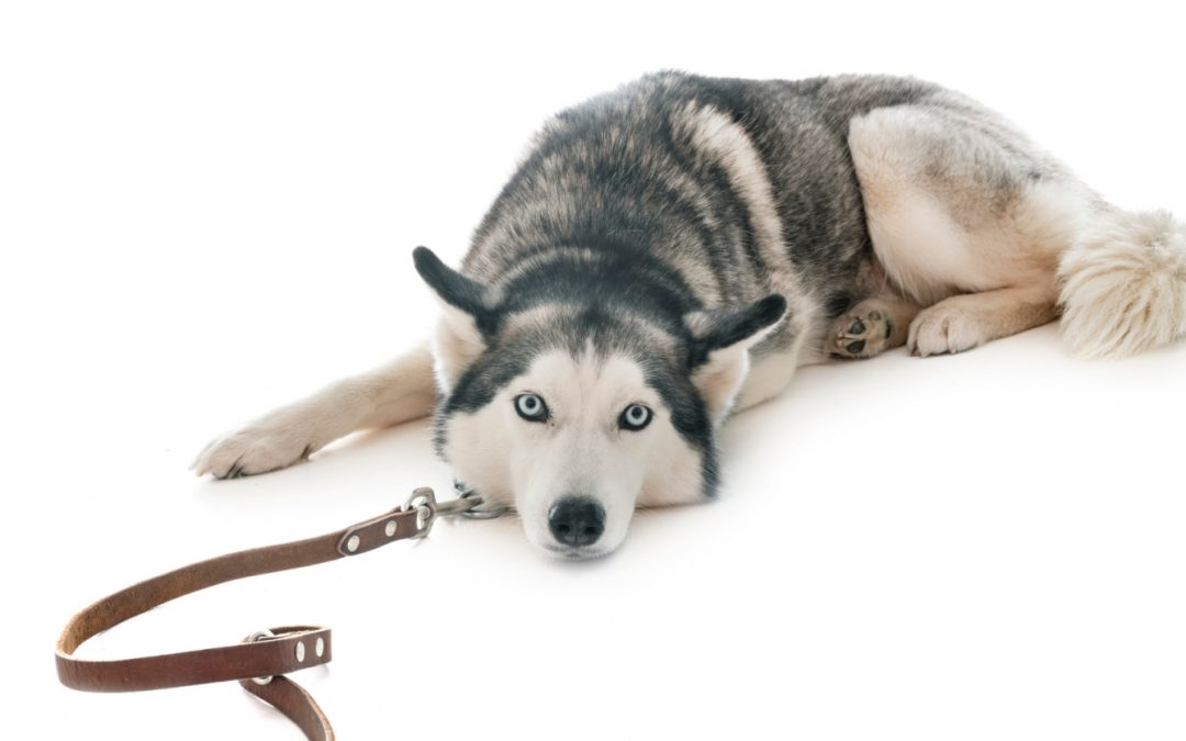 How to Train a Husky to Walk on a Leash