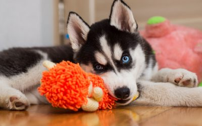 Top 10 Best Dog Toys for Huskies to Stimulate Their Minds & Mouths