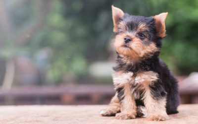 Proven Strategies for How to Train a Yorkie Not to Bark