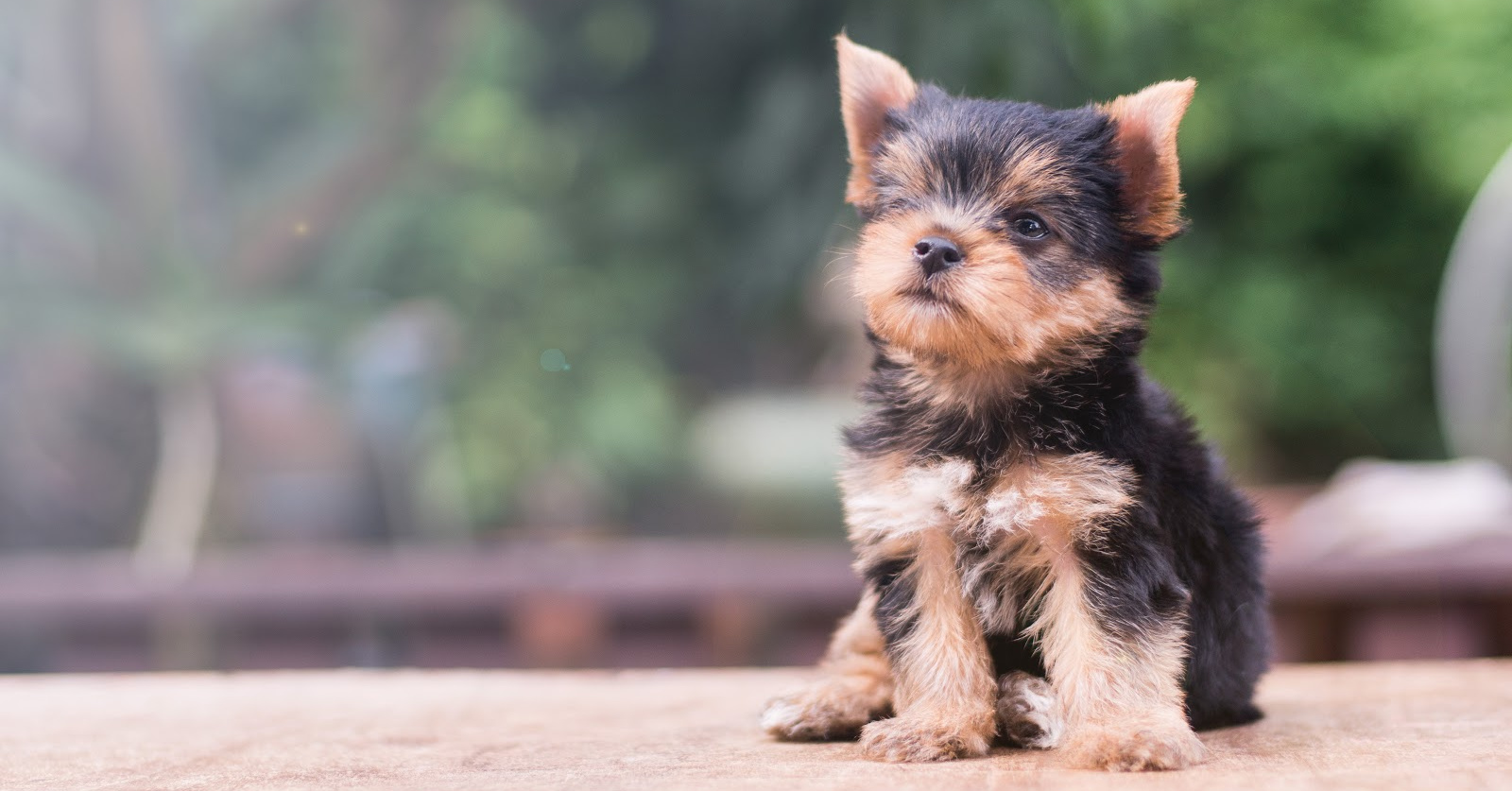 Proven Strategies For How To Train A Yorkie Not To Bark Alpha Trained Dog