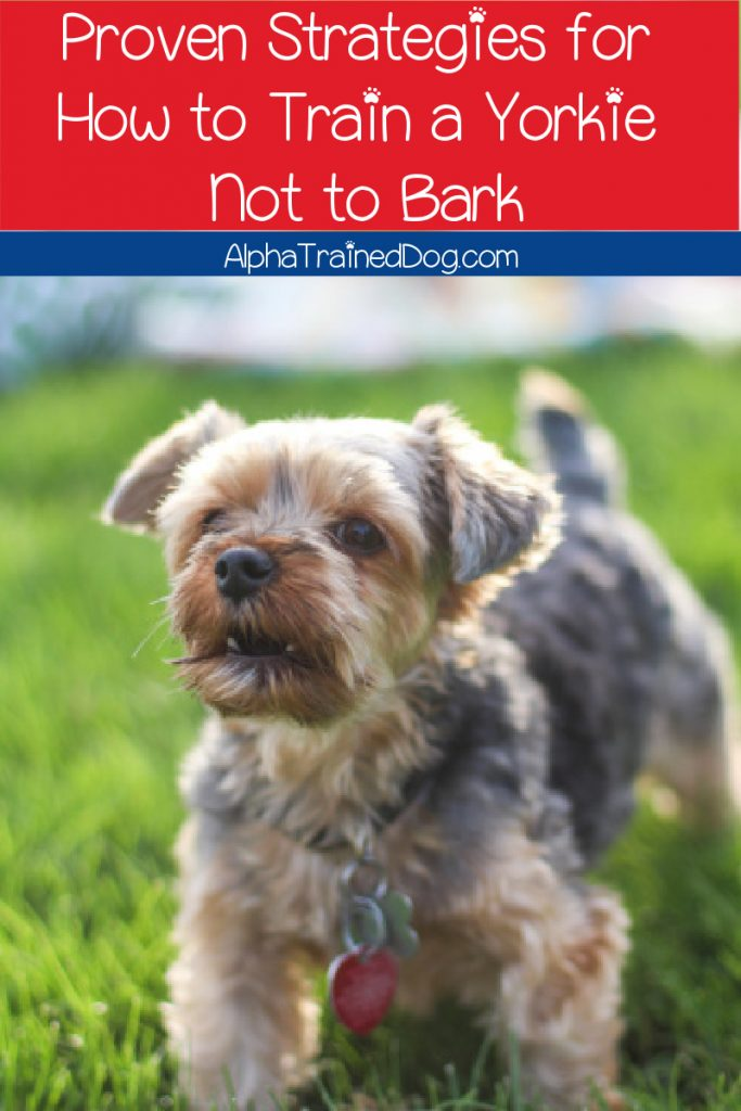 Wondering how to train a Yorkie not to bark? We've got you covered! Step on in for the best strategies and tips for your little loudmouth!