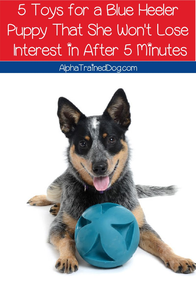 Looking for the best toys for a Blue Heeler puppy? Check out 5 ideas that your dog won't get bored with after 5 minutes!