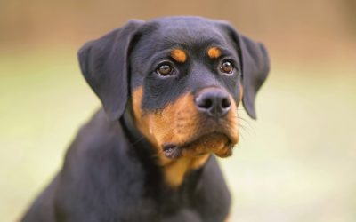 5 Basic Rottweiler Training Commands You Need to Know