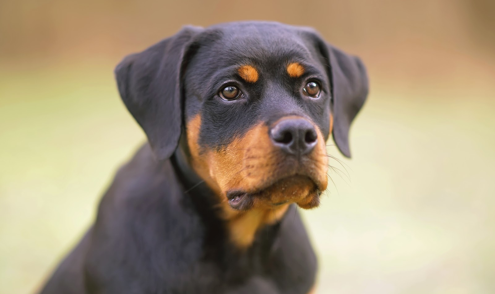 These Rottweiler training commands will help you teach your dogs manners and to look to you for guidance. Try them out today!