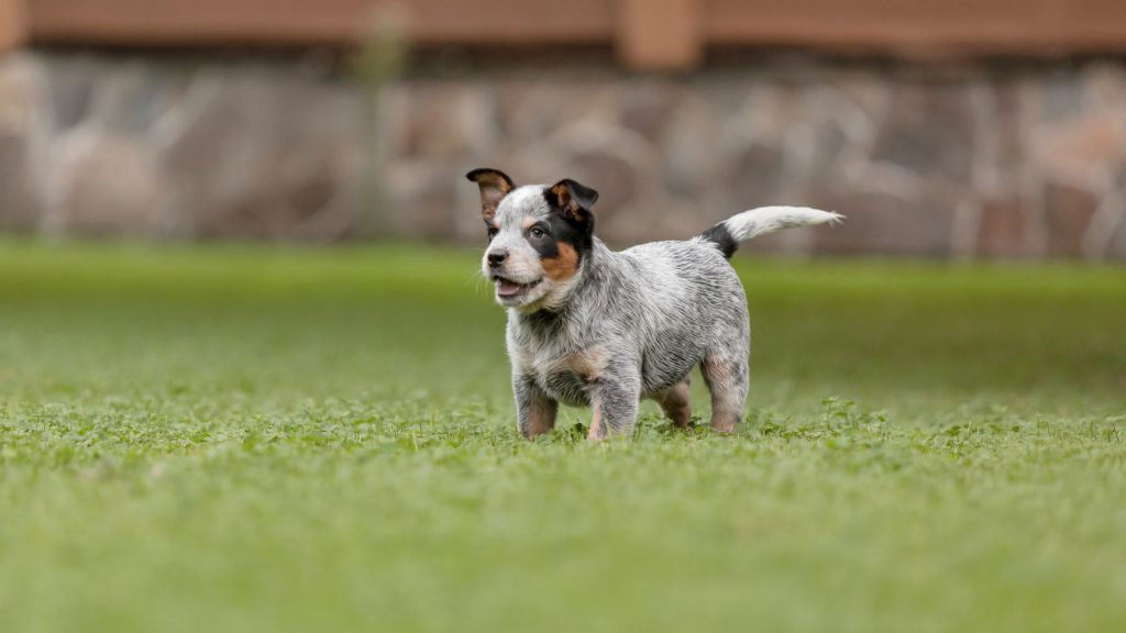 Did you know that mental stimulation games for a Blue Heeler puppy are just as important as physical games? Check out 6 fun ideas to try!