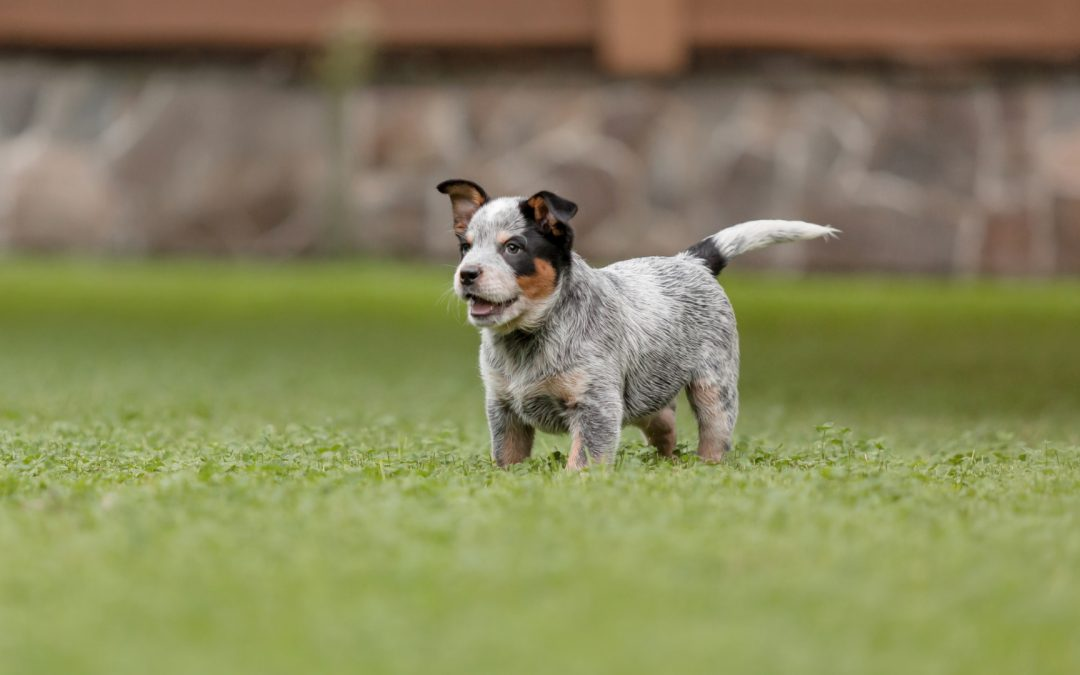 6 Fun Mental Stimulation Games for a Blue Heeler Puppy