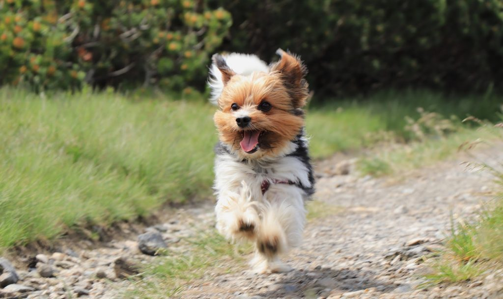 Need to know how to train a Yorkie to come? Check out these 5 proven strategies! Plus, learn the top 3 mistakes you may be making.