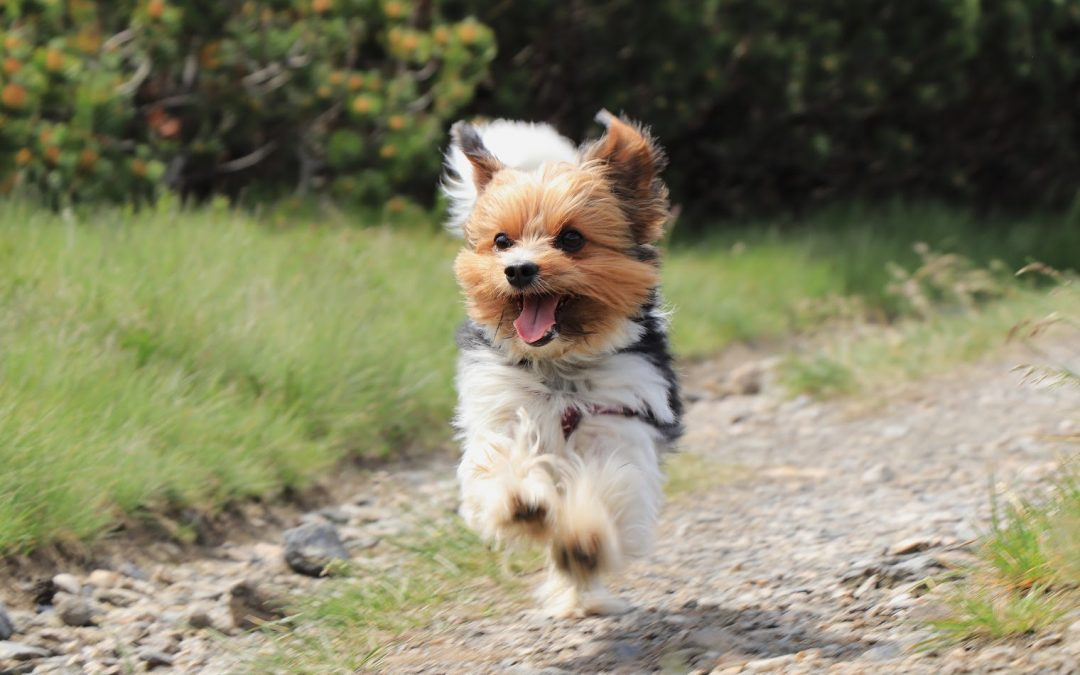 5 Proven Ways to Train a Yorkie to Come (Plus the Top 3 Mistakes You're Making)