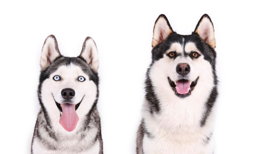 Walking two Huskies at once is a lot of fun if you know how. We're talking about walk two Huskies the easy way! Check it out!
