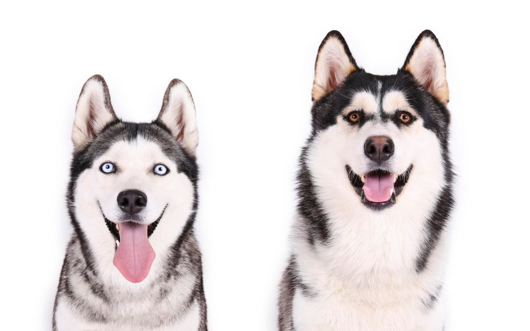 How to Walk Two Huskies at Once the Easy Way