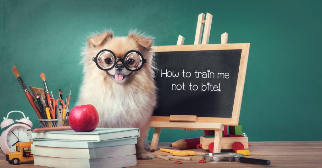 Learn how to train a Pomeranian puppy not to bite easily with these proven methods. Plus, learn why they bite in the first place!