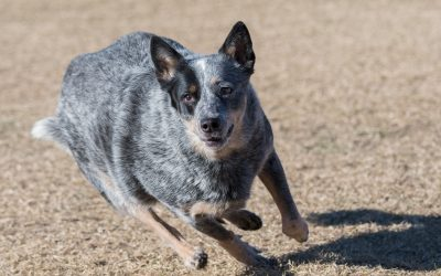 5 Secrets to Tire Your Blue Heeler Puppy: Advice from Veteran Owners