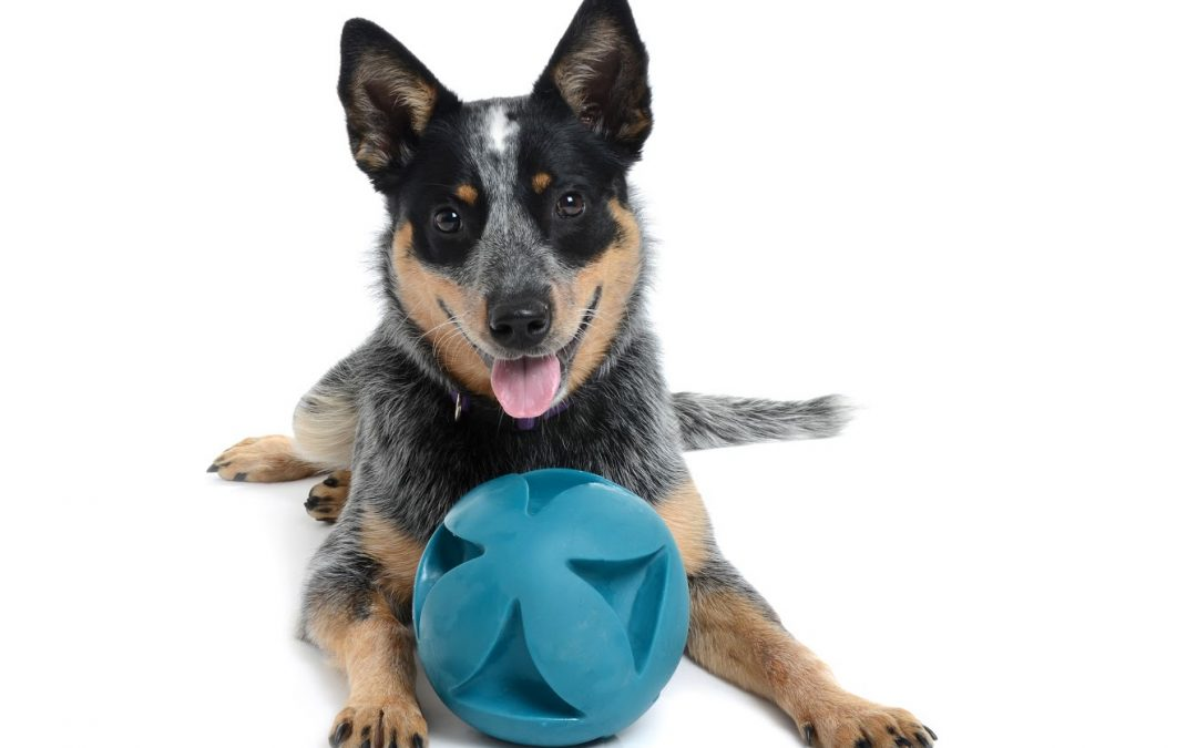 5 Toys for a Blue Heeler Puppy That She Won't Lose Interest in After 5 Minutes