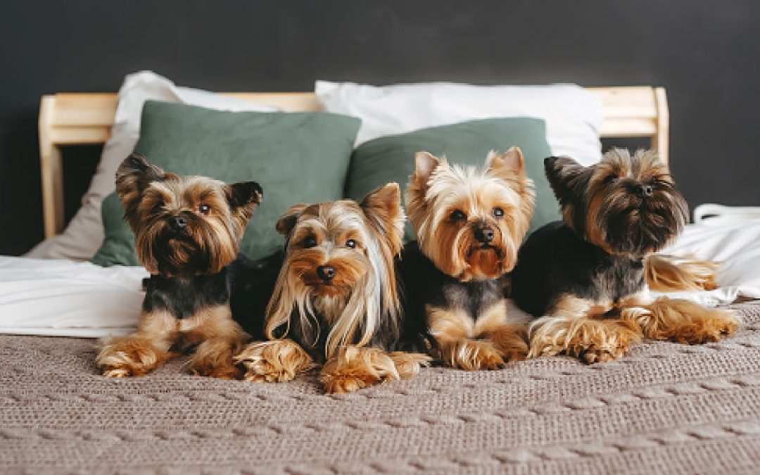 3 Easy Methods to Teach a Yorkie to Sit