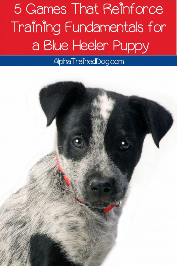 Looking for some great games to reinforce training fundamentals for a Blue Heeler puppy AND help tire him out? Check out five that we love!